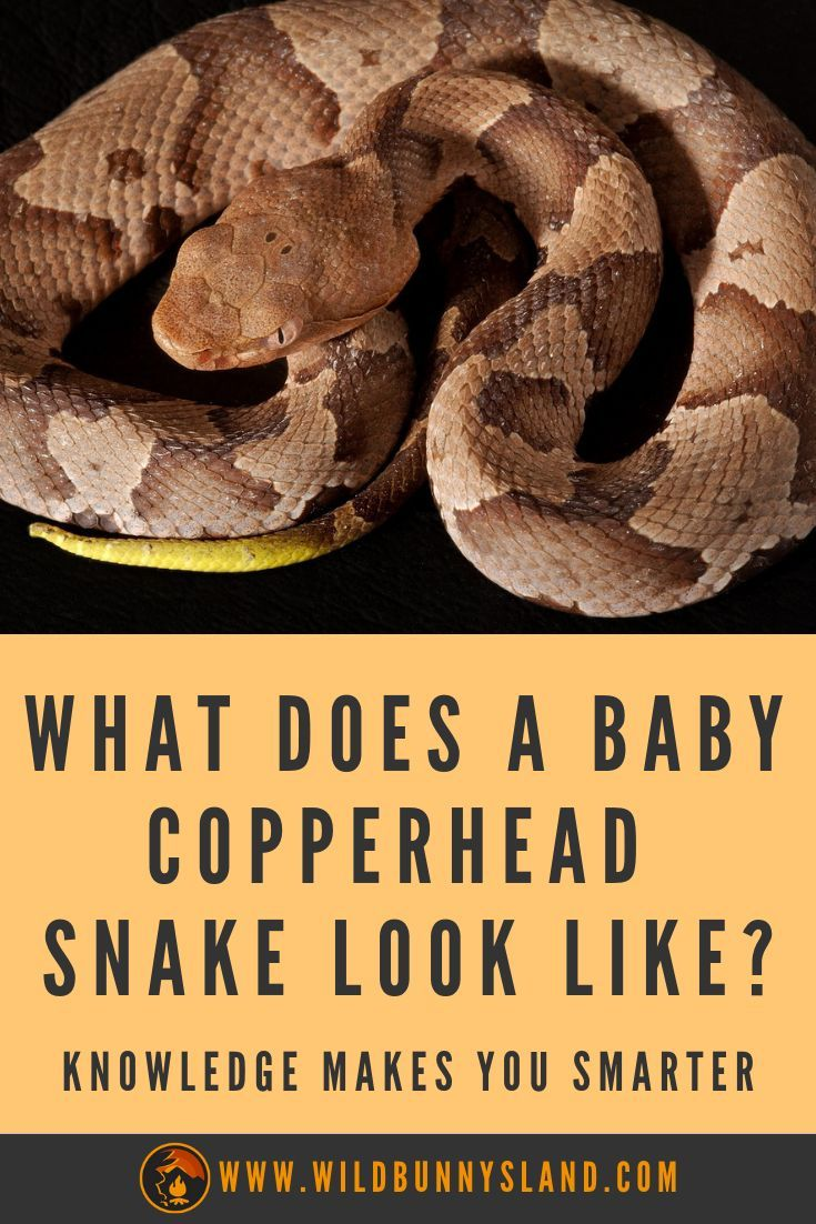 65ebbbc4b2132a78478a2a02cd5fc0fe - How To Get Rid Of Copperhead Snakes In Your Yard