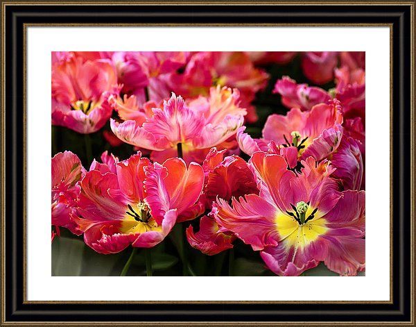 The Tulips Of Holland Framed Print featuring the photograph Parrot Tulips. The Tulips Of Holland by Jenny Rainbow