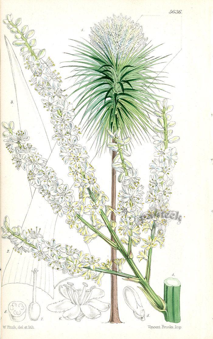 Cordyline Australis New Zealand Ti Tree From Rare Lithographs Of Macrozamia Bowenia Ban Botanical Illustration Vintage Antique Botanical Print Botanical Art