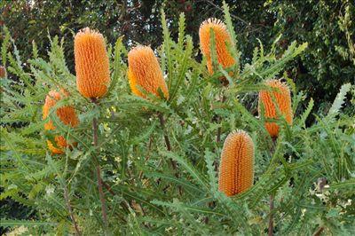 Banksia ashbyi • Australian Native Plants Nursery • Plants • 800.701.6517