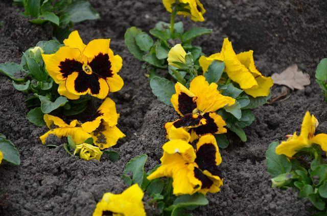 Kroniki Inowroclawskie Wiosna Czai Sie Za Rogiem Plants