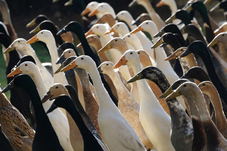 South Africa's Vergenoegd vineyard in Stellenbosch keeps a flock of over 1,000 Indian Runner ducks to help combattiny white dune snails that would otherwise destroy the budding vines. The ducks' upright and slender posture allow them to navigatethe rows of … Continue reading →