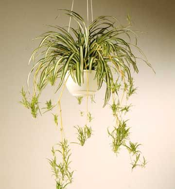 No toxins. Spider plant is one of the good plants that filter toxics from the air in a room. I like spider plant because it get little babies that you can cut and make a new plant of. I have two new plants from my big plant that's now in my bedroom :)