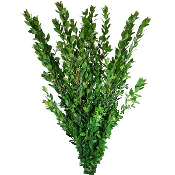A fresh bulk green, Myrtle Long serves as wonderful decorative filler. It has dense foliage that cover the entire length of the 18-24 inch stem. Use Myrtle Long by itself or combine it with any of our bulk flowers to create unique and romantic wedding bouquets, table centerpieces or flower...