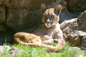 Puma - Felis concolor Otros nombre comunes puma (quichua), león, león americano, leoncito bayo