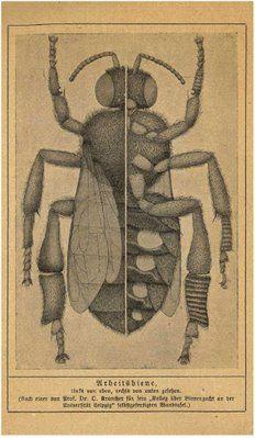 The above image is from: 'Leben und Zucht der Honigbiene -   ein gemeinverständliches Lehrbuch über Behandlung der Bienen und   über Tätigkeit, Nutzen und Anatomie der Biene' 1922 by Oskar Krancher.