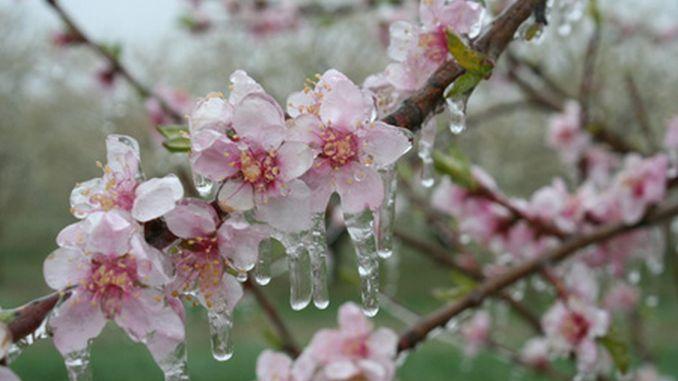 flori inghetate de aprilie