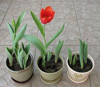 How to grow tulips in containers- any time of the year.