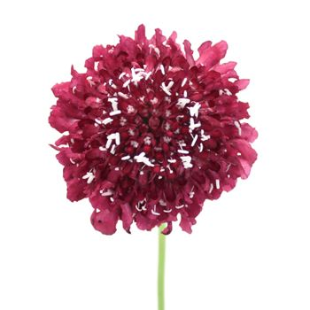 FiftyFlowers.com - Rosy Cheeks Scabiosa Flower