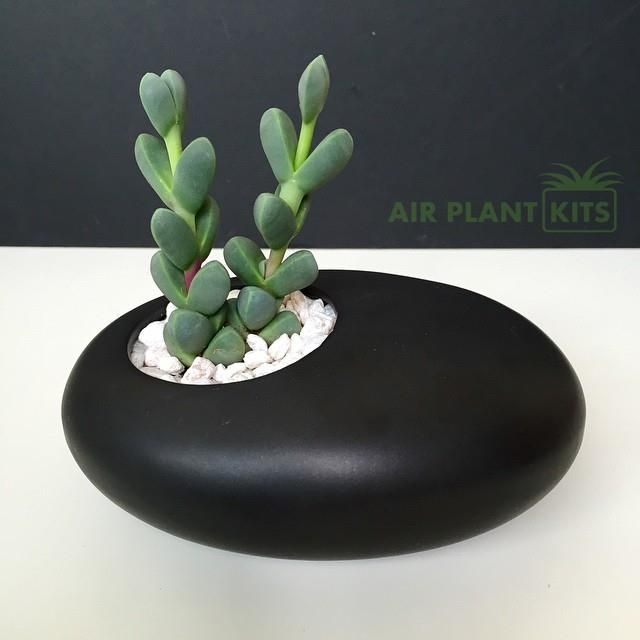 Corpuscularia Lehmannii Succulent Ying Yang Style With White Gravel In A  Beautiful Asymmetrical, Black