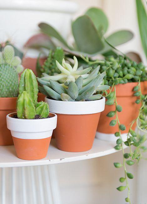 In de natuur vind je een cactus in de woestijn en op andere onherbergzame plekken. Je woonkamer is voor Succulenten.7hen een fluitje van een cent. Licht of donker, de cactus kan je op elk plekje zetten. Van november tot maart kan ze ook gewoon droog staan. Vanaf maart kan je dan af en toe wat water geven.