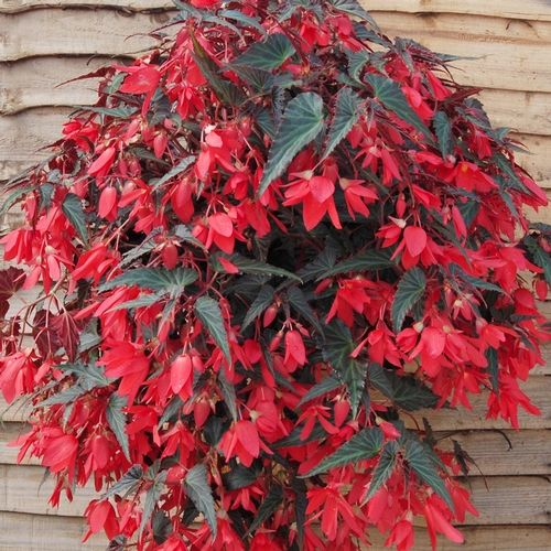Begonia 'Amour'  Begonia boliviensis    The most vigorous trailing begonia on the market, 'Amour' is perfect for large patio pots and hanging baskets because it grows quickly and trails from any container. The dark foliage on 'Amour' makes the vivid red flowers really pop.