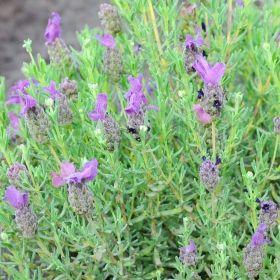 Lavender SKÄRMLAVENDEL 'Bandera Purple' i gruppen Ettåriga blomsterväxter / Doftande hos Impecta Fröhandel (89530)
