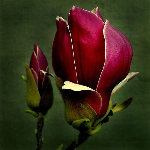 Red color nature photography macro flower flores - Magnolia planta cuidados ...