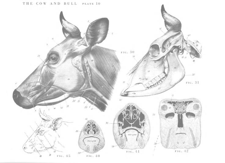 The 22 best Bovines images on Pinterest | Animal anatomy, Anatomy ...