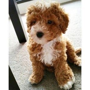 Mini Cavoodle Cute animals Pinterest Minis