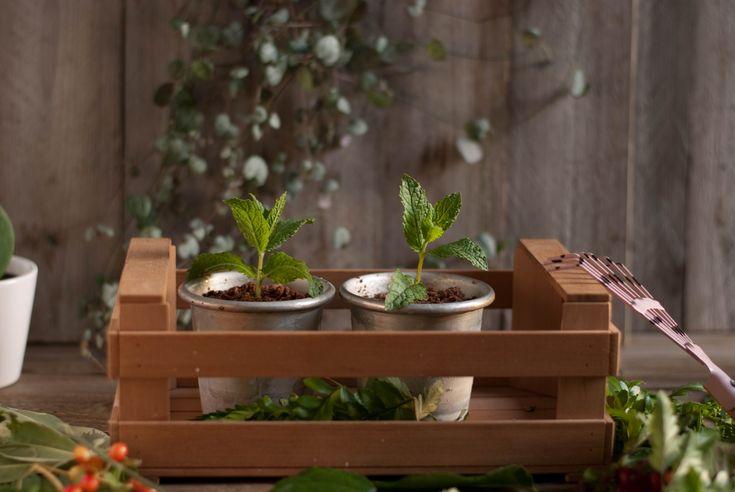 Piantine di mousse al cacao e semifreddo ai pinoli- Babbi Dolci freschi