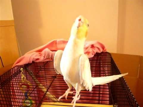 bird singing Mickey Mouse Song. aaaaaaaaaaaaawe!!!