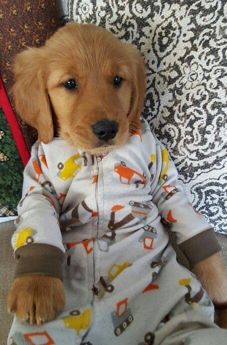 Golden Retriever puppy in pajamas pj's