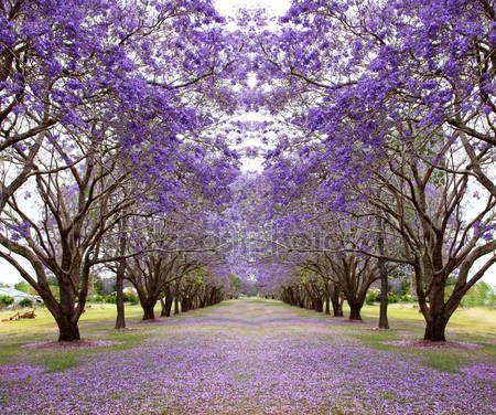 Downloaden - Paarse Jacaranda-bomen — Stockbeeld #88612078