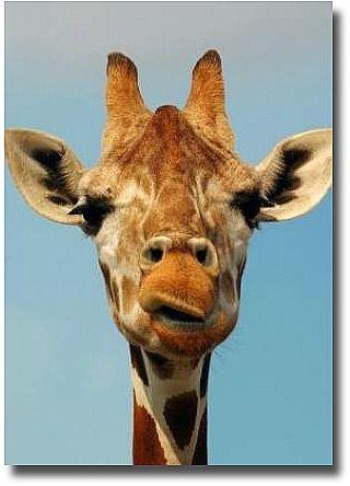 Giraffe at the Werribee Open Range Zoo - Australia
