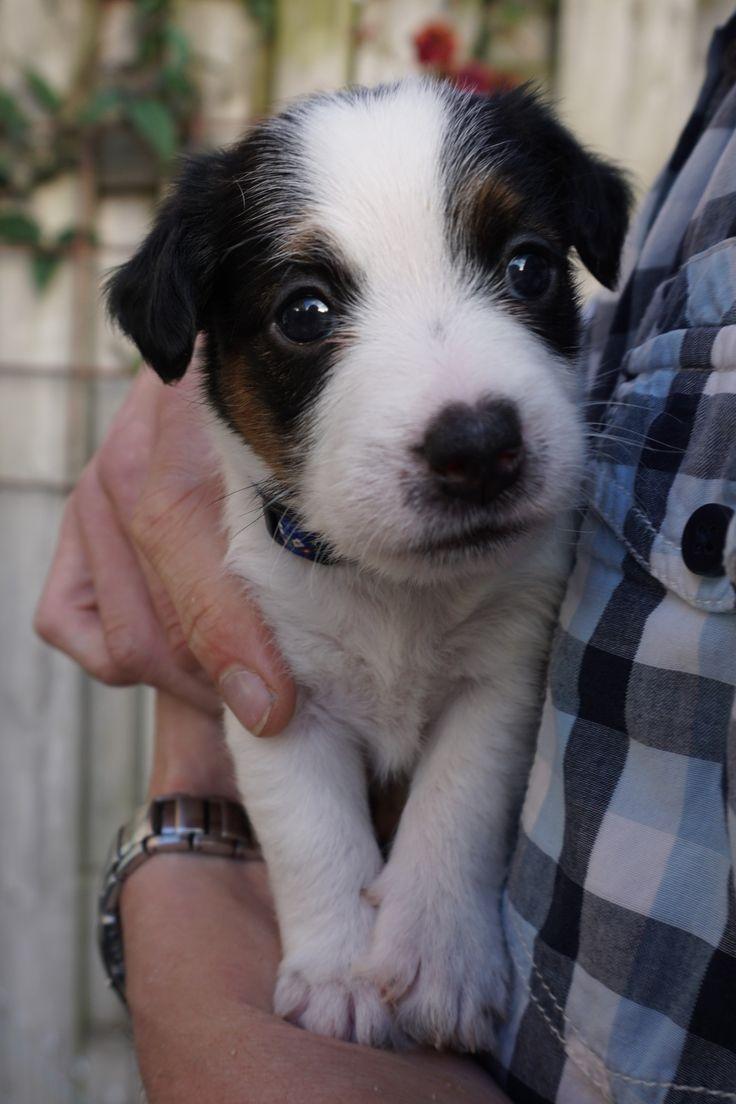 2204 besten Jack russell terriers Bilder auf Pinterest | Jack ...