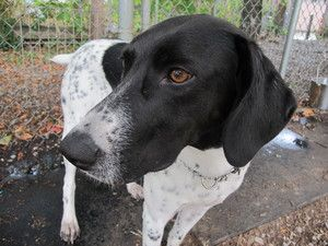 Tina is an adoptable Pointer Dog in Vancouver, BC. Tina is a young girl who is a bit shy at first. Once she gets to know you her whole personality comes out! She is loving and playful. Tina does know ...