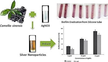 Role of biogenic silver nanoparticles in disruption of cell–cell adhesion in Staphylococcus aureus and Escherichia coli biofilm - ScienceDirect
