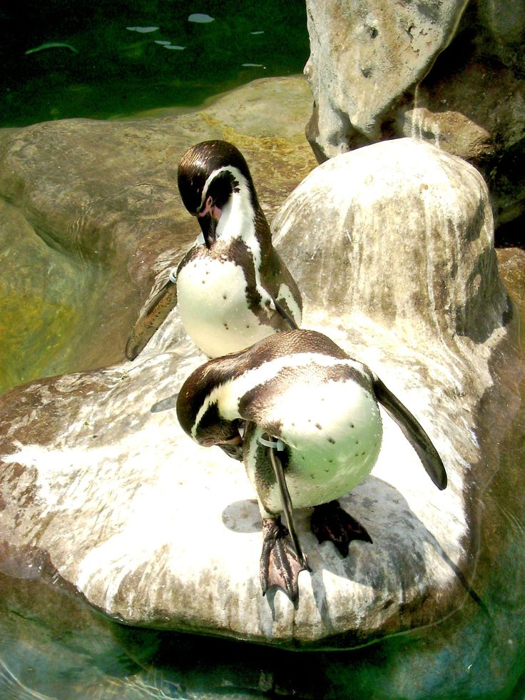 Pinguinos de Humboldt - Pinguinos del Parque Zoologico Huachipa. Lima. Perú.