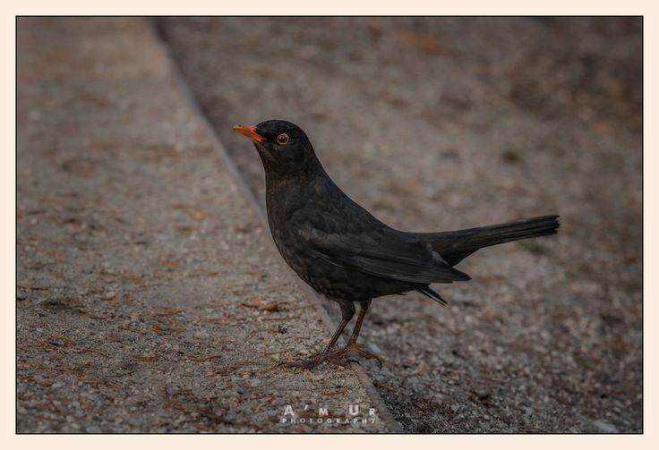 Blackbird ©Arek Uriasz