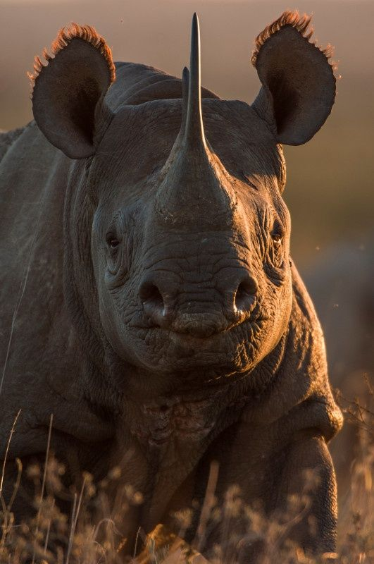 There are just 4,240 black #rhinos left in the world. Photo credit: Federico Veronesi/www.federicoveronesi.com