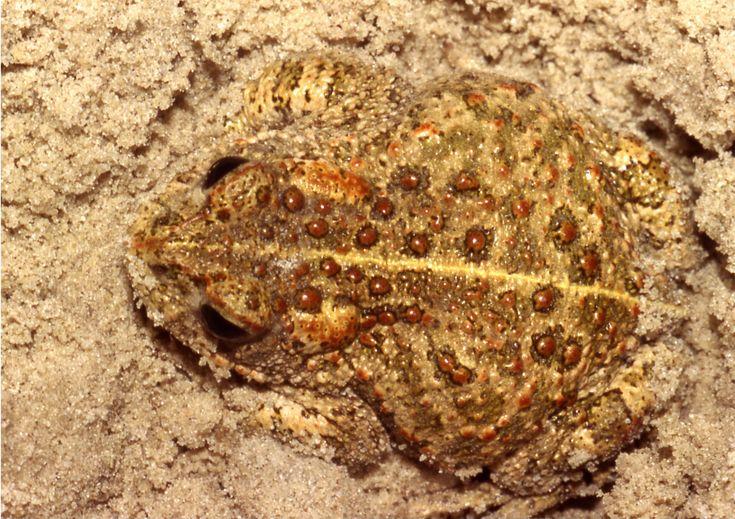 Epidalea (Bufo) calamita Natterjack toad Suffolk BAP Plan http://www.suffolkbiodiversity.org/content/suffolkbiodiversity.org/PDFs/action-plans/natterjacktoad.pdf