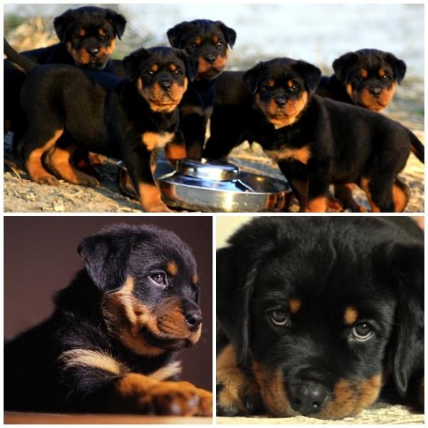 Rottweiler – Saiba tudo sobre essa raça!