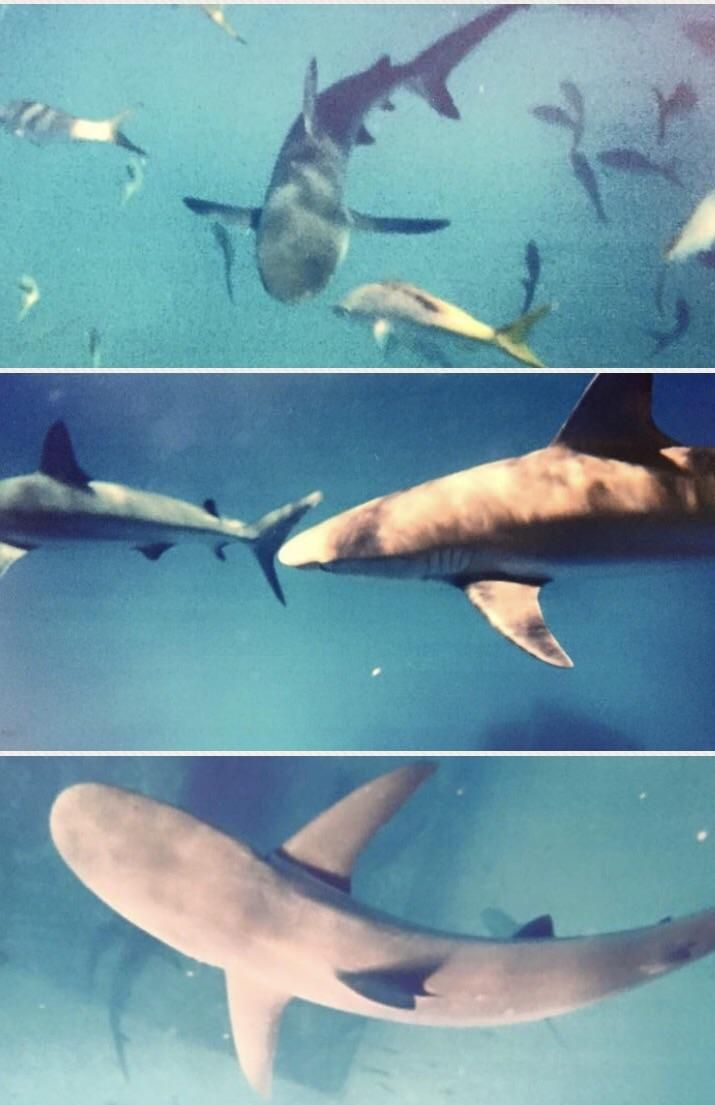 Swimming with sharks- no cage. Took these pics with an underwater disposable camera (no zoom!) in the Bahamas 2002