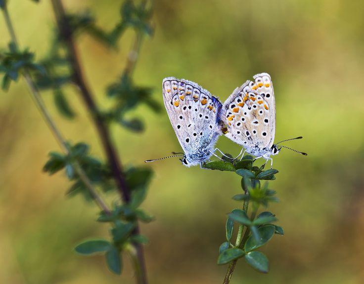 Mariposas copulando | Flickr - Photo Sharing!
