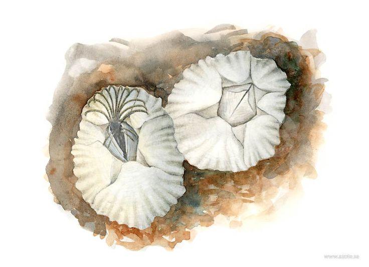 Räfflad havstulpan (Semibalanus balanoides) | Illustratör:  Camilla Bollner/Azote