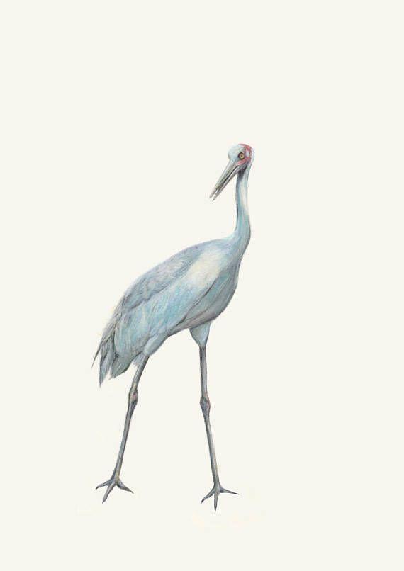 Brolga Fine Art Prints  Australian Bird Australian Wildlife