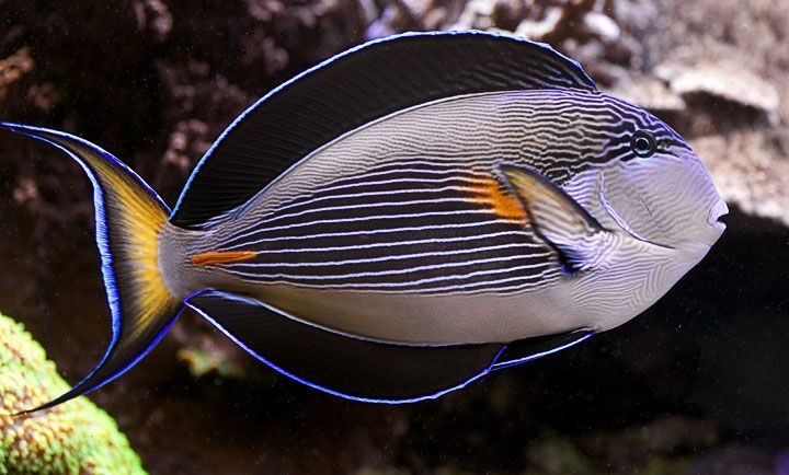 10 best sohal tang images on pinterest fish paint for Community saltwater fish