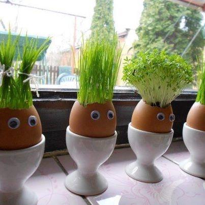 alpiste plantado em cascas de ovos...
