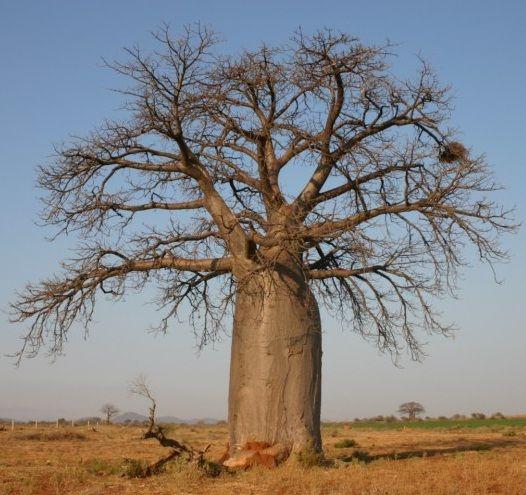 baobab-za