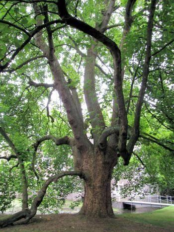 Bomenwandeling in de Engelse Tuin, Heeze | IVN - dit is de 'scheve beuk' voor het Kasteel Heeze