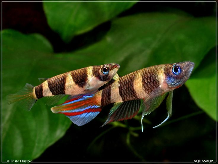Clown Killifish | Clown Killifish (Pseudepiplatys annulatus), Ikan Berekor Api dari ...