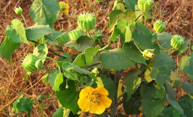 Find Abutilon Indicum medicinal uses, benefits and information  The