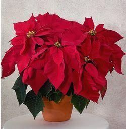 """La estrella federal, nacida en Méjico, recibe el nombre latino de Euphorbia pulcherrima (""""la más bella""""). Llegó a Europa en 1834, cuando fue descubierta en América, donde se convirtió e…"""