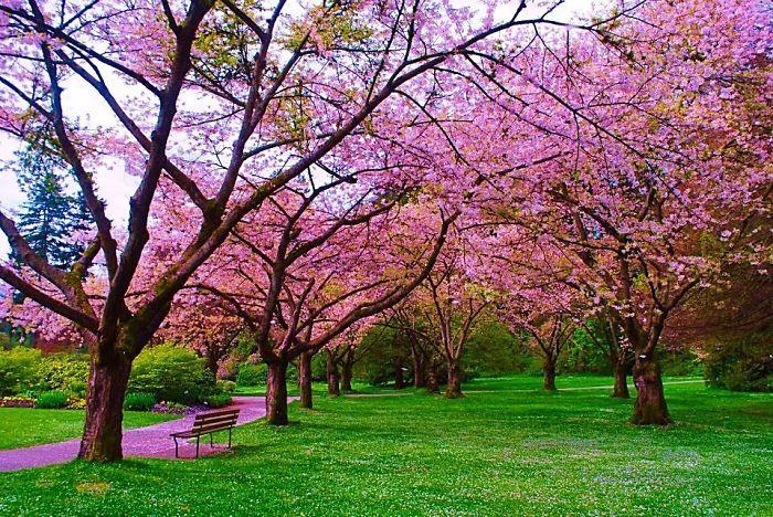 Apple Blossom Path In Vancouver, B.c. Canada