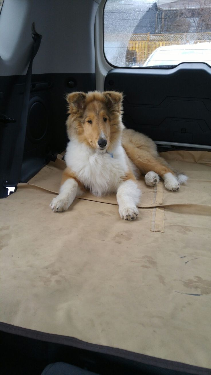 Rough collie 3 months