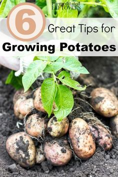 6 Great Tips for Growing Potatoes in your Garden- Grow your own harvest of potatoes with these useful gardening tips including easy hacks for planting, watering, and pest control.
