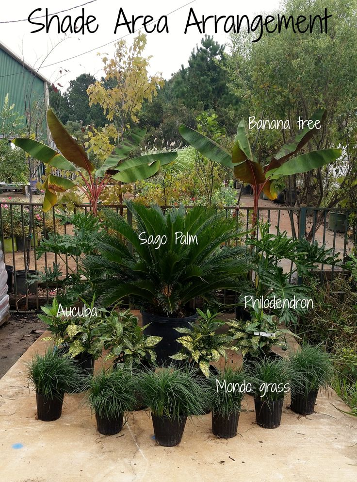 This is a great plant layout for a shade area! Place banana trees in the very back as corner pieces and philodendron directly in front. A Sago centerpiece will always look amazing and is super low maintenance! Wrap up the look with some variegated Acuba in the front for a burst of color and Mondo grass to mix up textures. Love this look? Hop by or call 912-756-7258 to transport this beautiful arrangement into your own backyard! *Original picture*