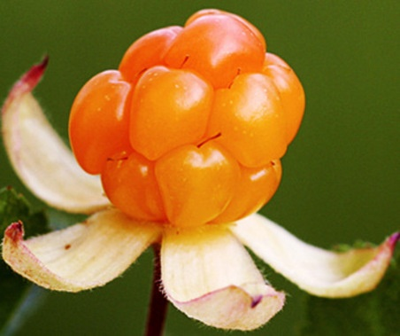 lakka...cloudberry
