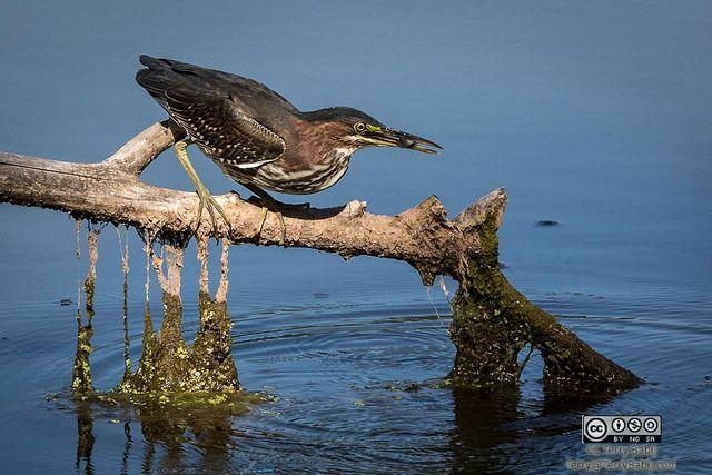 Green Heron having a light snack #RBG #Photography Terry Babij